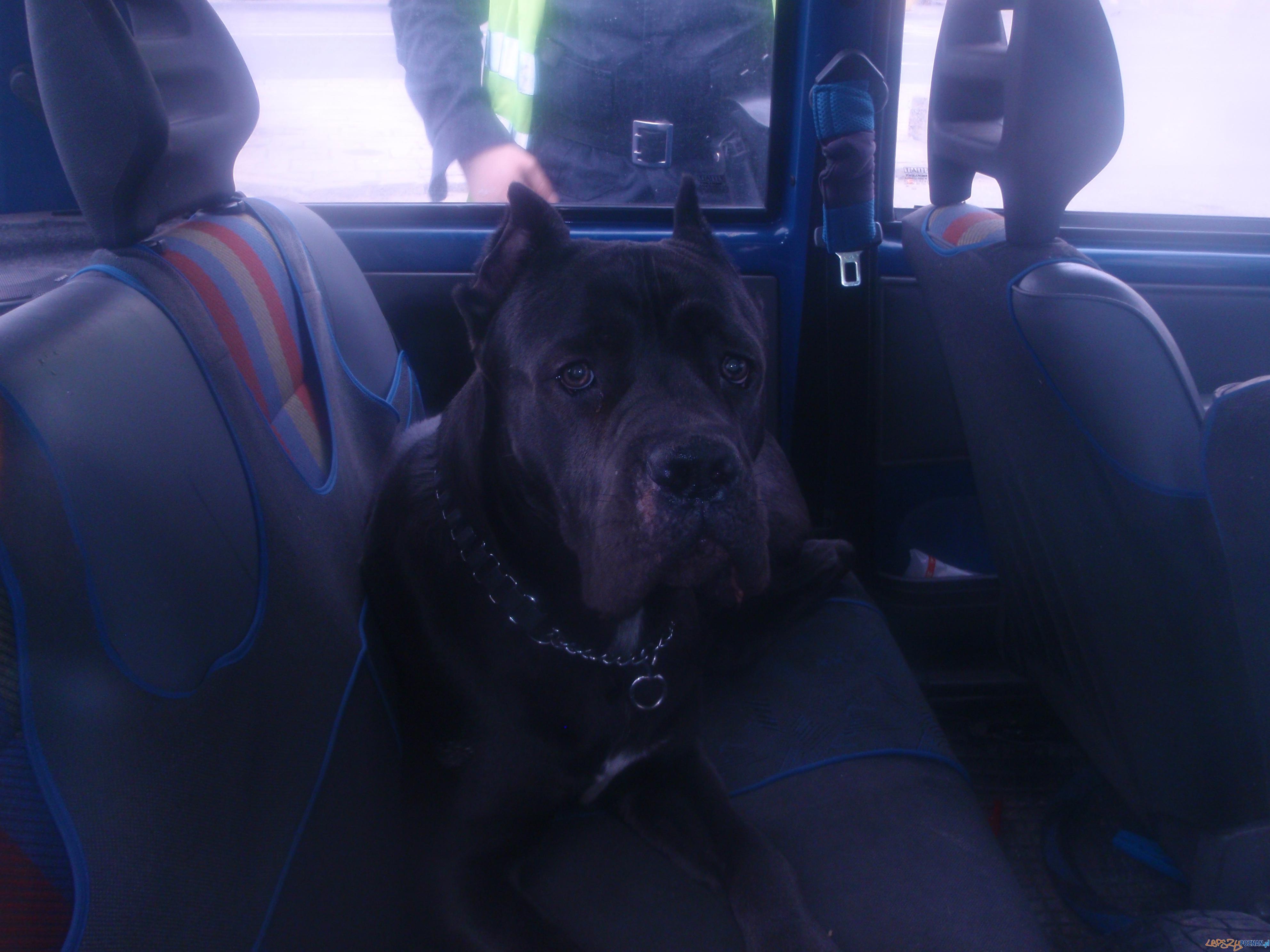 Pies zamknięty w aucie  Foto: Straż Miejska