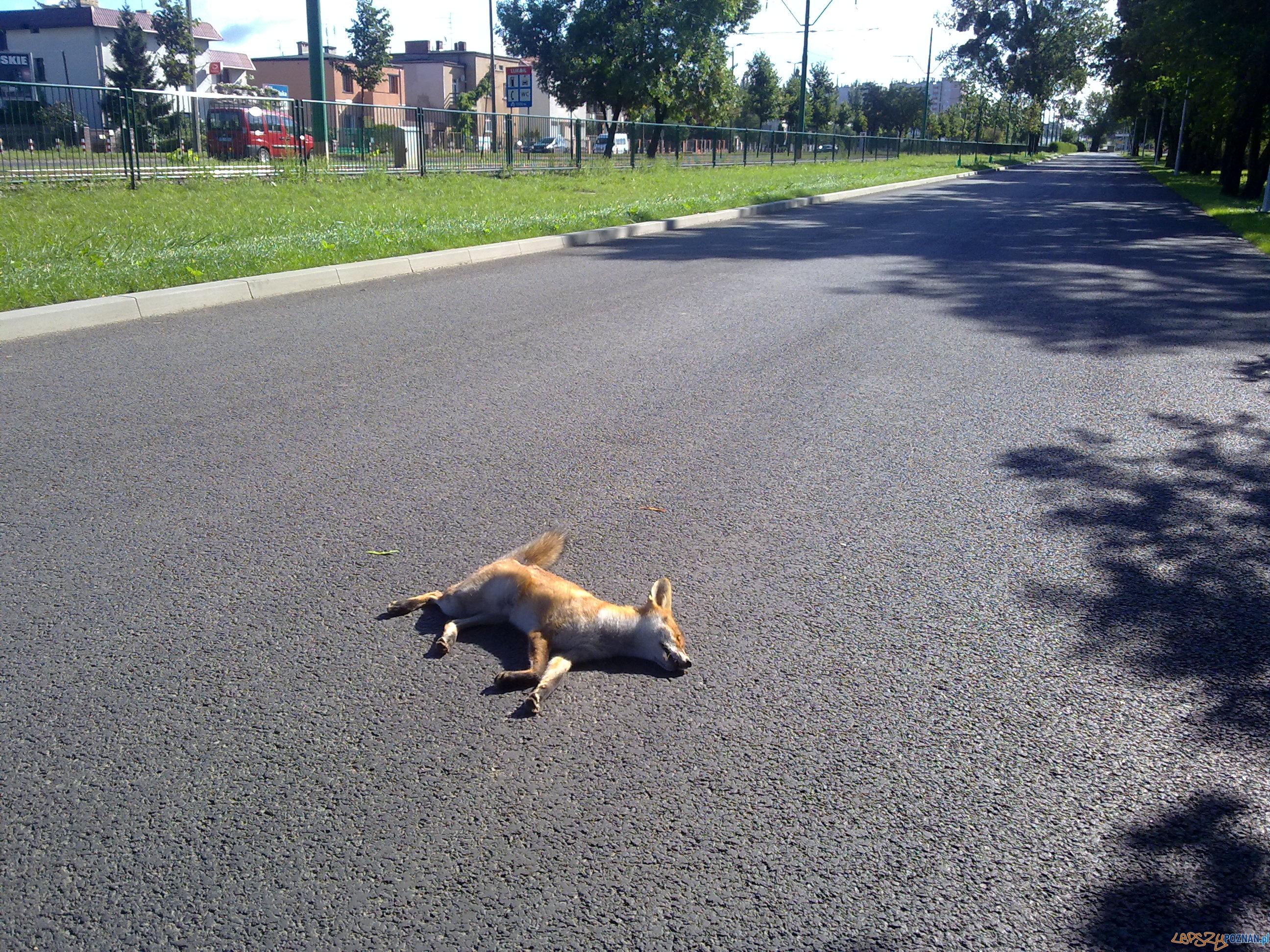 Lis w parku Tysiaclecia  Foto: