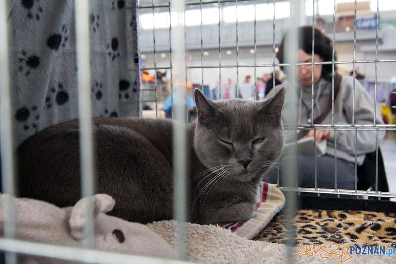 Światowa Wystawa kotów - FIFe World Cat Show 2011  Foto: lepszyPOZNAN.pl / Piotr Rychter