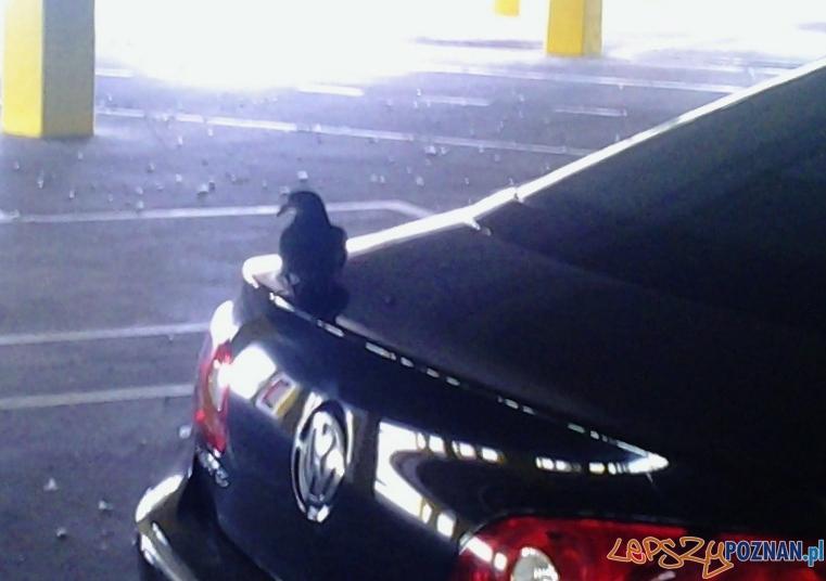 Szybka migawka - gołąbek parkingu  Foto: lepszyPOZNAN.pl / tab
