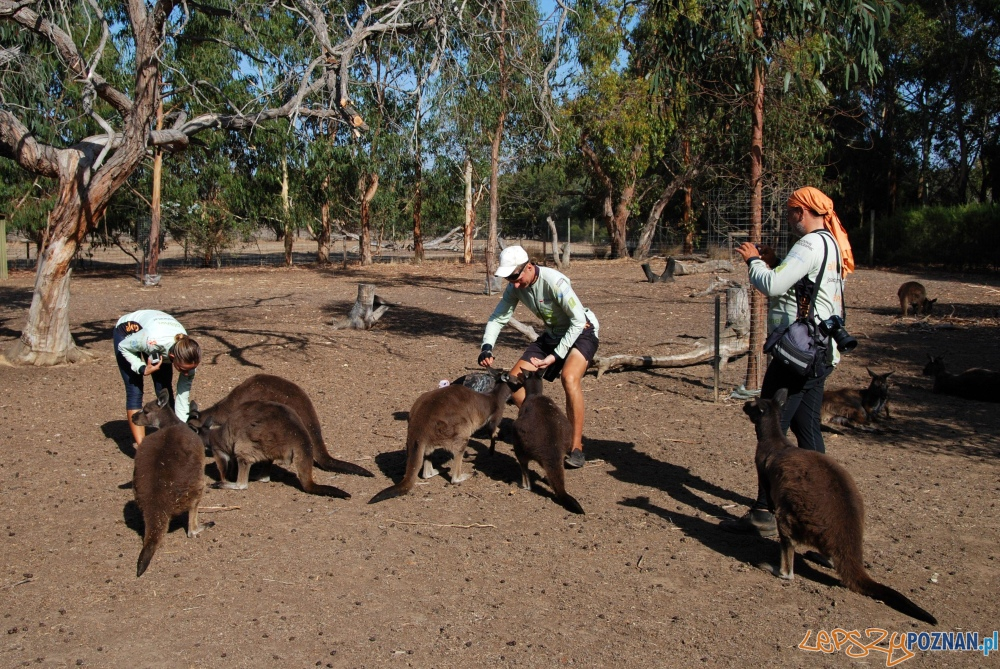 Poznajcie kangury! Parndana-Penneshaw  Foto: materiały all for planet