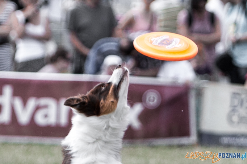 Dog Chow Disc Cup 2013 - Poznań 23.06.2013 r.  Foto: LepszyPOZNAN.pl / Paweł Rychter