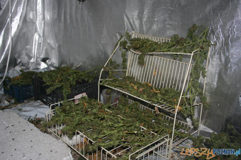 Polcja zatrzymala plantatora marihuany (6)  Foto: