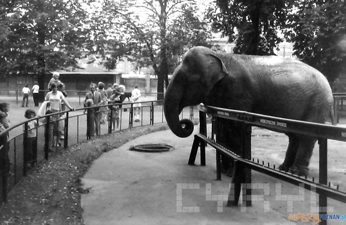 Słonica Kinga w ZOO - 1974  Foto: Adam Adamkiewicz / Cyryl