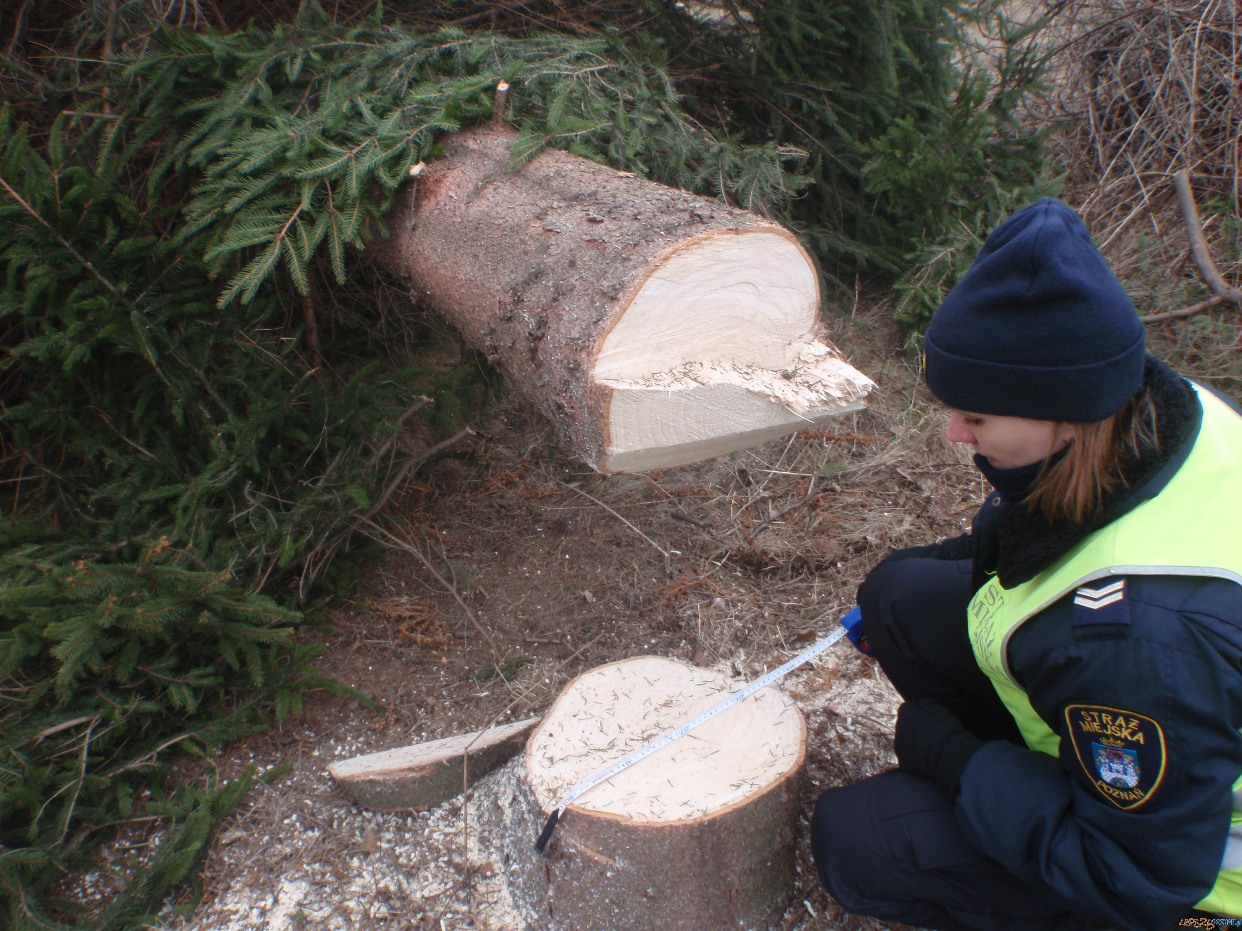 Nielegalna wycinka drzew na Podolanach  Foto: Straż Miejska Miasta Poznania