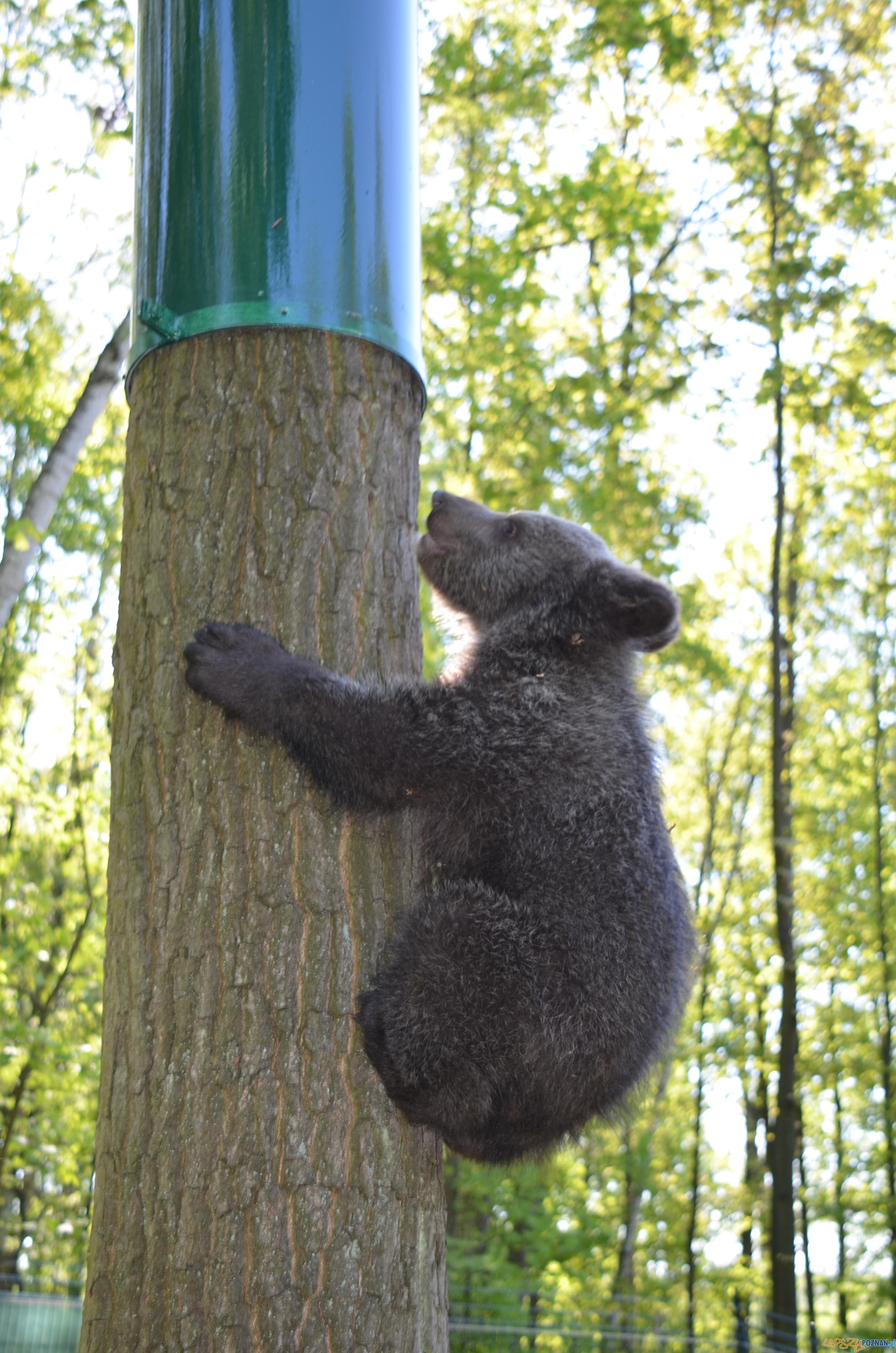 Cisna poznała wybieg  Foto: Zoo