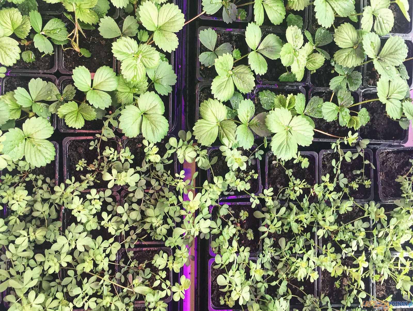 Truskawki - projekt strawbAIRies  Foto: strawbAIRies / Uniwersytet Przyrodniczy / materiały prasowe