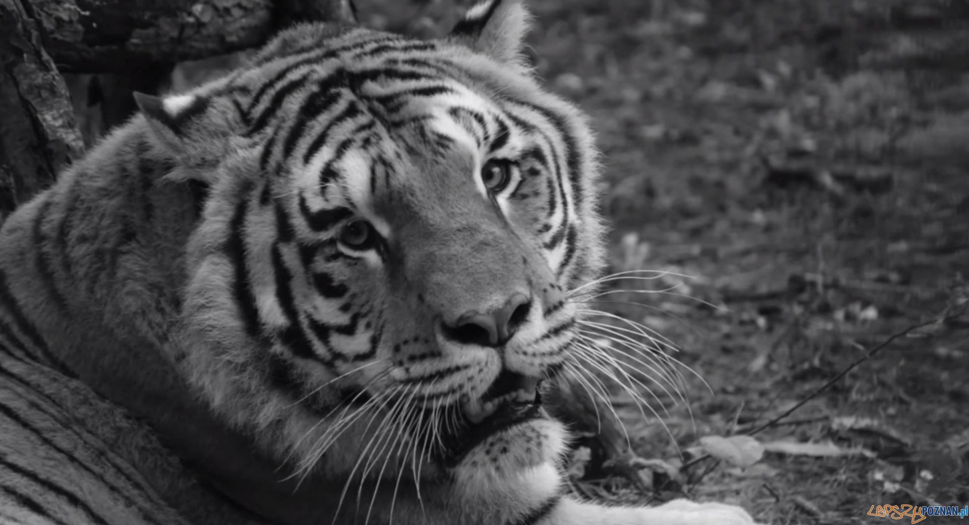 Nie żyje Gideon, tygrys uratowany z nielegalnej hodowli  Foto: Zoo Poznań