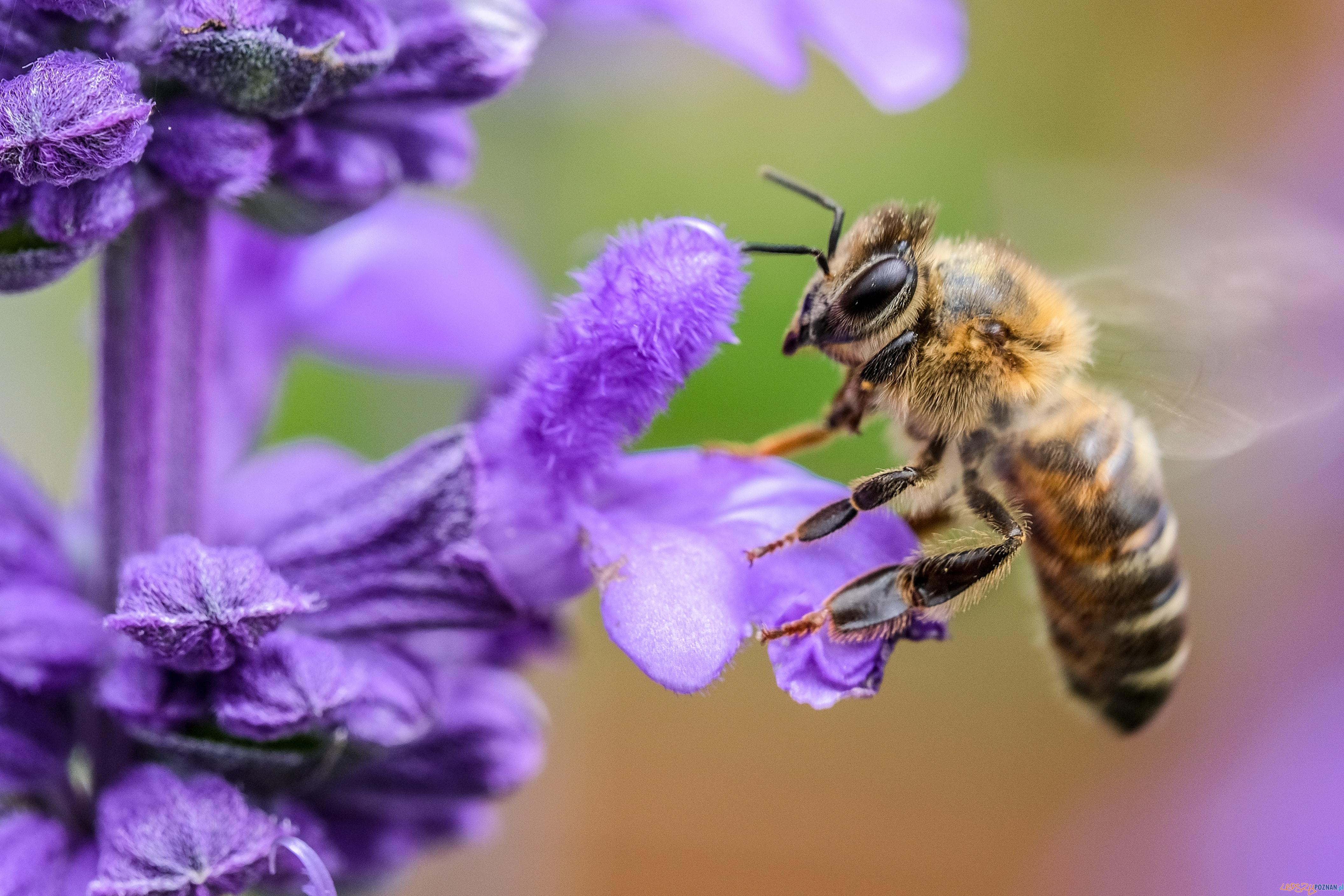 pszczoła  Foto: Roberto Lopez