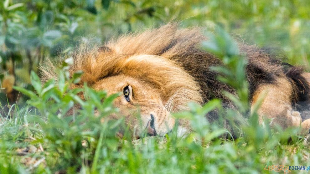 Nowe Zoo  Foto: lepszyPOZNAN.pl/Piotr Rychter