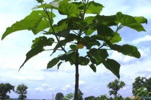 Oxytree - drzewko tlenowe  Foto: wikimedia / Milo33